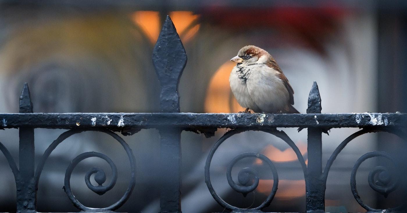 house sparrow on an iron fence